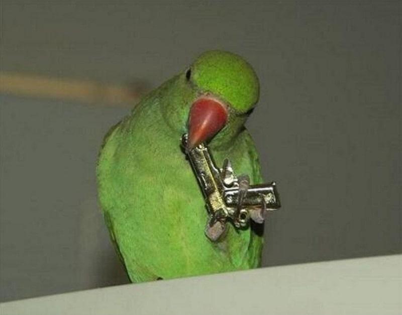 попугай с пистолетом мем